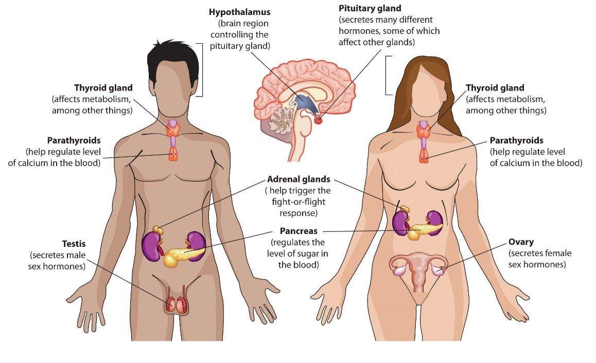 Endocrine-System